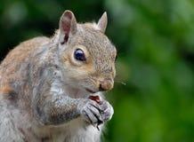 Écureuil gris commun Photographie stock libre de droits