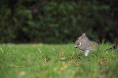 Écureuil gris dans l'herbe Images libres de droits