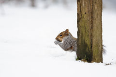 Écureuil gris dans la neige Photos stock