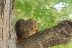 Écureuil gris mangeant la pomme sur l'arbre images stock
