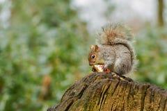 Écureuil gris mangeant une pomme rouge avec la queue touffue Images libres de droits