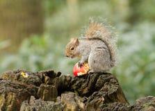 Écureuil gris mangeant une pomme rouge avec la queue touffue Photo stock