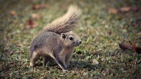 Écureuil gris mignon Image libre de droits