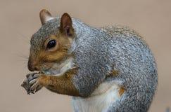 Écureuil gris mignon Photographie stock