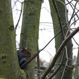 Écureuil gris oriental caché dans l'arbre - Londres, Royaume-Uni photo libre de droits
