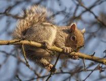 Écureuil gris s'élevant sur des branches d'un arbre en hiver photos libres de droits
