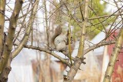 Écureuil gris se reposant sur les branches d'un arbre sans feuilles photographie stock