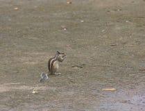 Écureuil indien Images stock