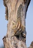écureuil indien de paume photographie stock