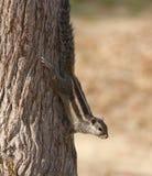 écureuil indien de paume photographie stock libre de droits