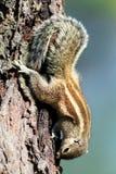 écureuil indien de paume Images stock