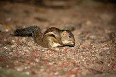 écureuil indien de paume Photo libre de droits