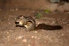 écureuil indien de paume Photos stock
