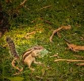 Écureuil indien de paume mangeant le plastique à New Delhi, Inde Photos stock