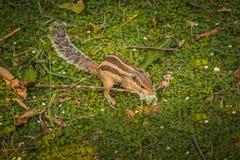 Écureuil indien de paume mangeant le plastique à New Delhi, Inde Photo libre de droits