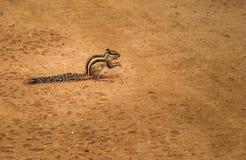 Écureuil indien de paume - New Delhi, Inde Image stock