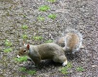 Écureuil intéressé image libre de droits