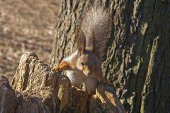Écureuil - le propriétaire du parc Photographie stock