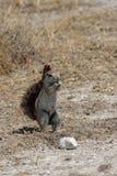 écureuil méridional au sol africain photo libre de droits