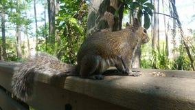 Écureuil majestueux sur la garde images libres de droits