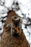 Écureuil mangeant étroitement vers le haut Images libres de droits