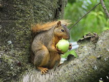 Écureuil mangeant Apple vert dans un arbre Photos libres de droits