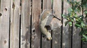 Écureuil mangeant d'un conducteur de graisse de rognon photo libre de droits