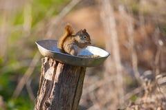 Écureuil mangeant dehors Photographie stock
