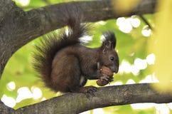 Écureuil mangeant des écrous sur une branche d'arbre Photo libre de droits
