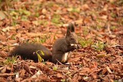 Écureuil mangeant des arachides Photo stock