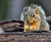 Écureuil mangeant des graines dans un birdfeeder Images stock