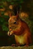 Écureuil mangeant des graines sur la pierre Image libre de droits