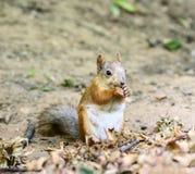 Écureuil mangeant des noix Photo libre de droits
