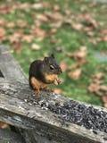 Écureuil mangeant des noix Image libre de droits