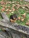 Écureuil mangeant des noix Photographie stock libre de droits
