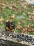 Écureuil mangeant des noix Photos stock