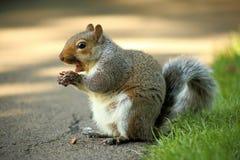 Écureuil mangeant du chocolat Photographie stock libre de droits