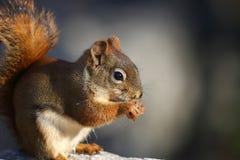 Écureuil mangeant en nature Photos libres de droits