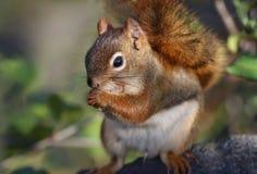 Écureuil mangeant en nature Image stock