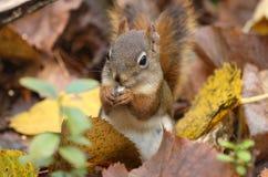 Écureuil mangeant en nature Image libre de droits