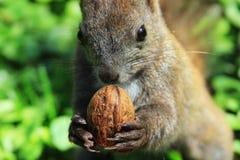 Écureuil mangeant l'écrou photographie stock