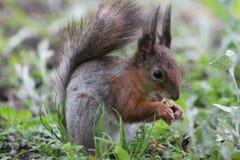 Écureuil mangeant l'écrou Photographie stock libre de droits