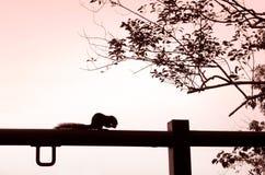 Écureuil mangeant la silhouette de noix Photographie stock libre de droits