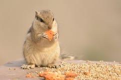 Écureuil mangeant le biscuit Photos libres de droits