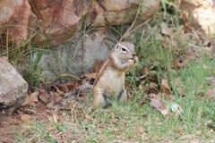 Écureuil mangeant quelque chose Images libres de droits