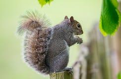 Écureuil mangeant ses écrous Photo libre de droits