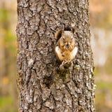 Écureuil mangeant sur une branche Photos libres de droits