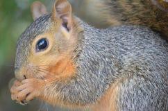 Écureuil mangeant un écrou Images libres de droits