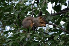 Écureuil mangeant un écrou dans une cime d'arbre images stock