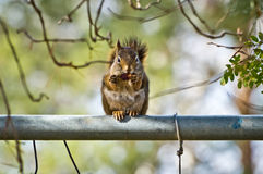 Écureuil mangeant un gland Images stock
